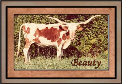 Beauty, Famous Longhorn Cow
